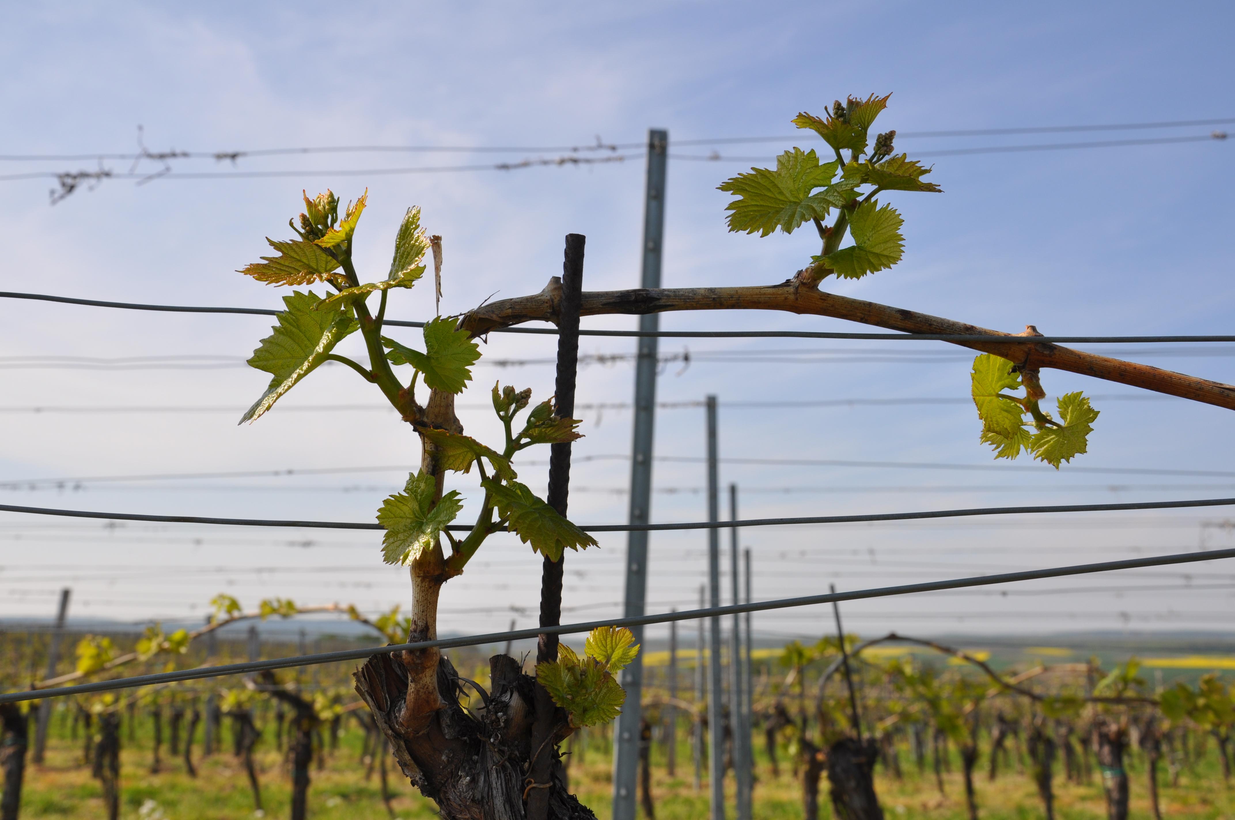 Frühling in den Weingärten
