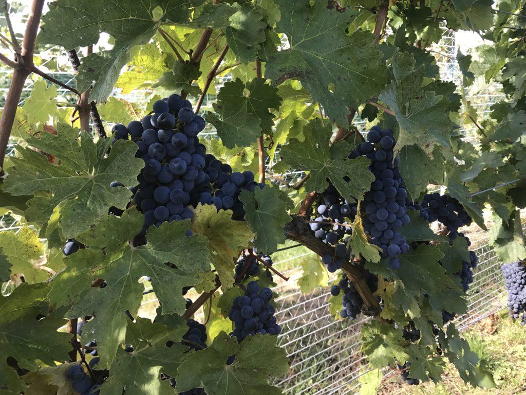 Merlot-Trauben kurz vor der Ernte